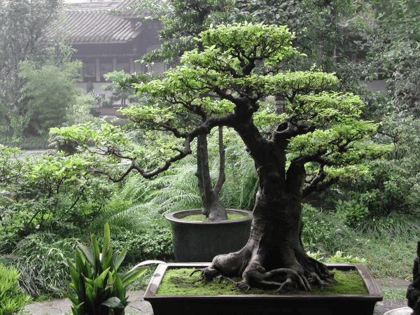 arbre feng shui naturel